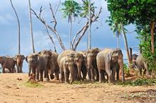 Elephants roam in Udawalawe National Park. Ph