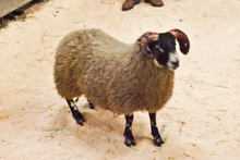 This Blackface lamb fetched $175,820 at auction in Scotland. Photo / AP