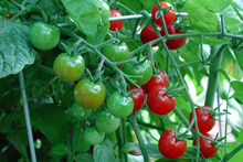 It's time to plant your summer tomatoes, but they do require lots of care and attention. Photo / Supplied