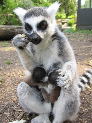 Twin baby lemurs snuggle into their mum, Yetta, at Hamilton Zoo.
