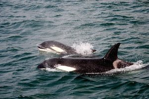 Hungry Killer Whales are hanging around Hawke Bay looking for lunch. Photo / File