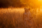 A local soaking in the late afternoon sun at Kenya's Masai Mara Reservation. Photo / Thinkstock