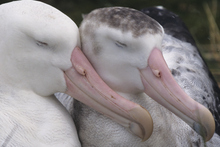 A total of 19 out of 22 albatross species are currently considered threatened. Photo / Thinkstock