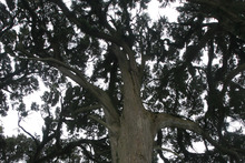 Three property owners in Manurewa had to fight for their share of northern sun after they learned a 50-year-old totara tree. Photo / Marlene Ditchfield