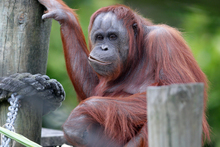 Six orangutans live in two family groups at Auckland Zoo. Photo / Doug Sherring
