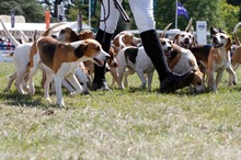The Game Fair wouldn't be complete without hounds. Photo / Supplied