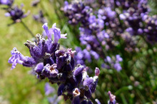 Be creative with themes to refresh garden pots: 'Cottage colour' could use lavender as its base. Photo / Supplied