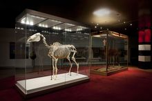 Phar Lap's skeleton and hide on display during the 2010 Melbourne Cup. The skeleton was on loan from Te Papa in Wellington.