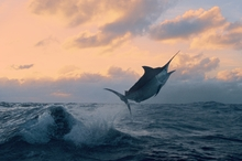 Mr Perry caught a 544kg black marlin on a whirlwind fishing trip off the North Queensland Coast on Friday. Photo / File