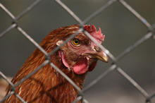 Battery hens anyone? - Are workers consulted about office layout? Photo / Thinkstock