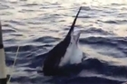It all happened 4000km away with rookie big-game angler and 66-year-old Mr Perry catching a 544kg black marlin on a whirlwind fishing trip off the North Queensland Coast on Friday. While still short of the World record for a marlin - a specimen of over 700kg caught over 60 years ago - it is thought to be the biggest ever to be satellite tagged.