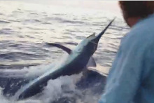 The 544kg black marlin caught a tagged by Doug Perry. Photo / Doug Perry