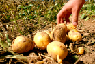 Potatoes are extremely susceptible to blight. Photo / Thinkstock