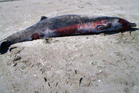 A spade-toothed beaked whale washed up on Opape Beach in the Bay of Plenty. Photo / Supplied