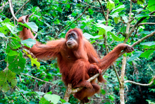 Ulu Ai offers the possibility of spotting orangutans in the wild. Photo / Thinkstock