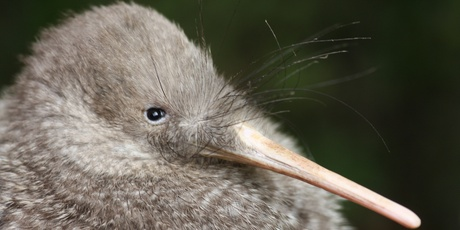 Spot a little spotted kiwi at Zealandia, a conservation park on the outskirts of Wellington. Photo / Tom Lynch