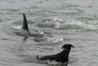An orca swims by a dog at Mathesons Bay. Photo / Supplied
