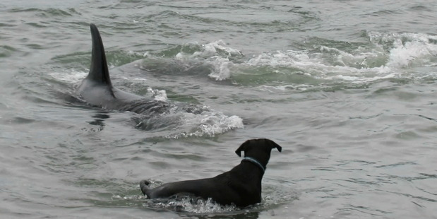 Loading An orca swims by a dog at Mathesons Bay. Photo / Supplied