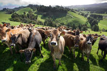 Cows are increasingly fed supplementary feed from a variety of suspect sources. Photo / Steven McNicholl