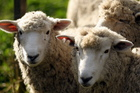 Several regions in the country are reporting insufficient stocks of sheep and beef properties to meet buyer demand. Photo / Paul Taylor