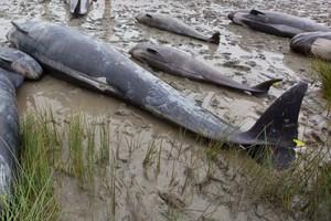 Pilot whales. File photo / NZPA