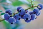 Mamaku blueberries, Rotorua. Photo / Thermalair
