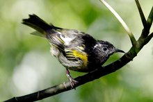 The endangered hihi (stitchbird) on Tiritiri Matangi Island. Photo / Bay of Plenty Times