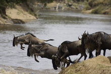 Trek follows the wildebeest herd on their 3000km journey through Tanzania and Kenya. Photo / Supplied