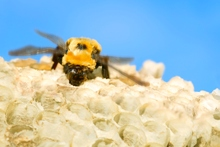 One teaspoon of honey = a lifetime's worth of nectar-gathering for 12 bees. Photo / Thinkstock