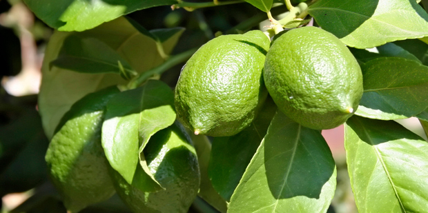 Careful watering is vital for limes. Photo / Thinkstock
