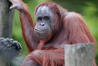 An orangutan at Auckland Zoo. Photo / Doug Sherring