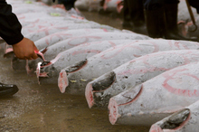 Whole tunas lie frozen rock-solid on the concrete at Tsukiji fish market. Photo / Thinkstock