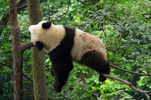 Crouching tiger, sleeping panda. Photo / Thinkstock