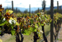 Frost damage on Central Otago vines may cut production by 30 per cent. Photo / Max Marriott