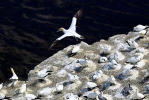 Science is being used to try and create a gannet colonoy similar to this one at Muriwai.  Steven McNicholl