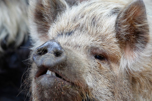 A man's prize Christmas pigs were stolen. Photo / NZPA
