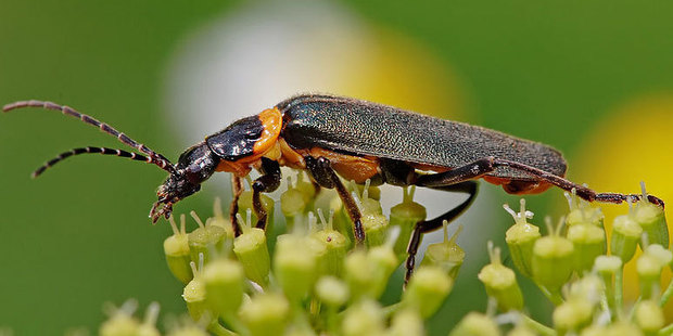 An infestation of the plague soldier beetle Chauliognathus lugubris has been found on the The AAL Brisbane. Photo / Wiki Commons