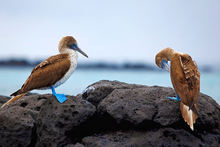 Blue footed boobies on the Galapagos. Photo / Thinkstock