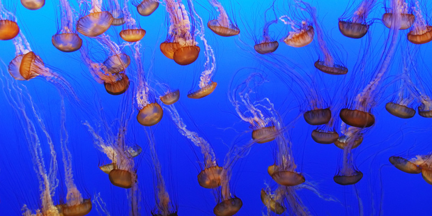 US researchers have latched onto an idea for counting tumour cells, inspired by the tentacles of jellyfish. Photo / Thinkstock