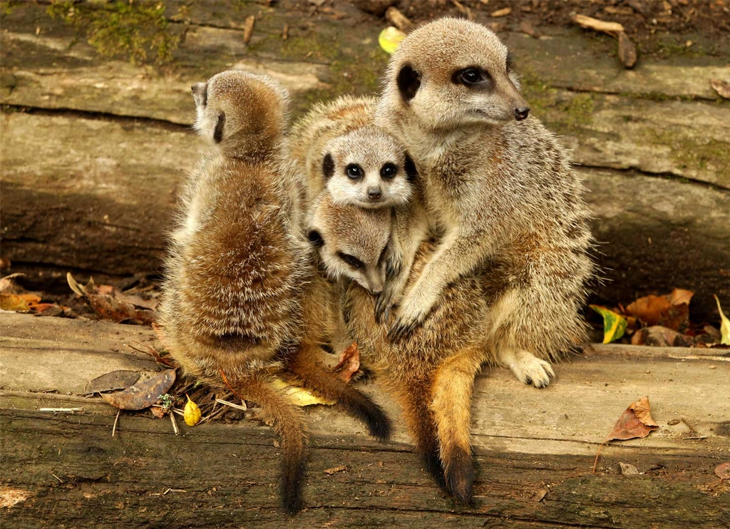 Mosi (right), the mother of the four 9-week-old meerkat kits at Auckland Zoo, gives her offspring a cuddle back in March.