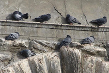 Soon to be culled, feral pigeons on the Alexandra bridge. Photo / Sarah Marquet
