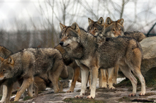 Pack of wolves. Photo / Thinkstock