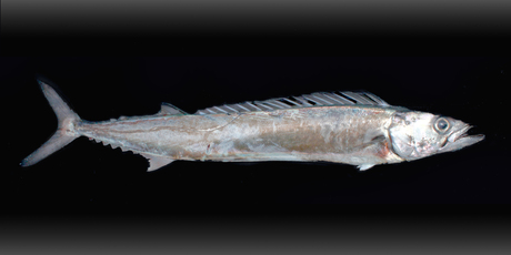 Snoek, or barracouta, a fish that can be found in the waters off South Africa as well as New Zealand. Photo / Sourced from Wikimedia Commons 