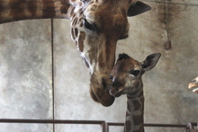 Tunu and her new baby get to know each other. Photo / Supplied