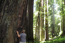 Redwood National Park is home to several of the world's tallest trees. Ph