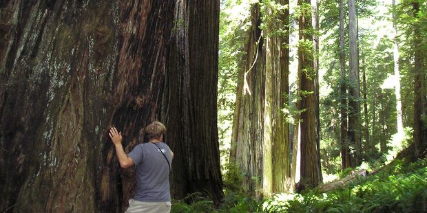 Redwood National Park is home to several of the world's tallest trees. Photo / Supplied