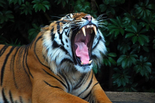 The tiger at Auckland Zoo. Photo / Supplied
