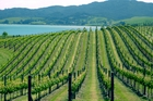 Rows of vines in Butterfish vineyard with Mangonui Harbour view in background. Photo / Supplied