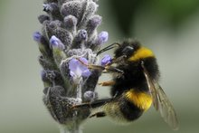 A bumblebee visits a lavender flower in bloom. Photo / Supplied