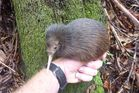 Three-month-old kiwi Scarlet. Photo / Supplied